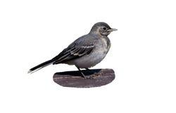 behandla som ett barn fågelwagtailen Fotografering för Bildbyråer