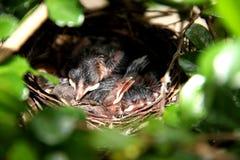 Behandla som ett barn fåglar i redet Fotografering för Bildbyråer