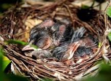 Behandla som ett barn fåglar i redet Arkivfoton