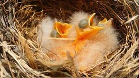 Behandla som ett barn fåglar väntar på mat i rede stock video