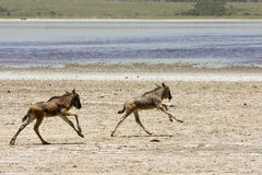 behandla som ett barn föräldralösa running serengetiwildebeests Royaltyfri Fotografi