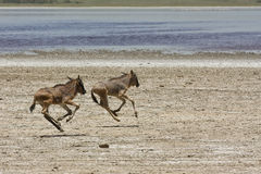 behandla som ett barn föräldralösa running serengetiwildebeests Arkivbilder