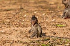 Behandla som ett barn förkylning för apor (som Krabba-äter macaquen) i morgon Arkivfoto