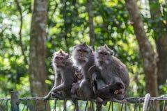 behandla som ett barn familjen ansar henne macaqueapamodern Arkivfoton