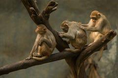 behandla som ett barn familjen ansar henne macaqueapamodern Fotografering för Bildbyråer
