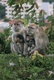 behandla som ett barn familjen ansar henne macaqueapamodern Royaltyfri Bild