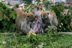 behandla som ett barn familjen ansar henne macaqueapamodern Arkivbild