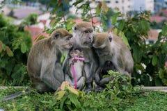 behandla som ett barn familjen ansar henne macaqueapamodern Royaltyfria Bilder