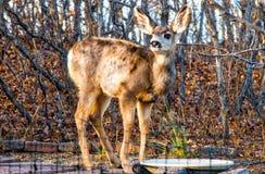 Behandla som ett barn Fawn Deer Dpe Buck Stops för vatten Royaltyfri Bild