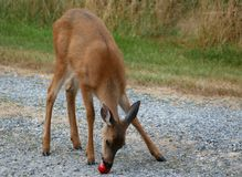 Behandla som ett barn Fawn Deer Eating en Apple Royaltyfri Foto