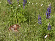 Behandla som ett barn Fawn Sleeping i vildblommor Royaltyfri Bild
