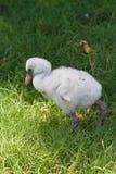 Behandla som ett barn flamingo III royaltyfri bild