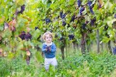 Behandla som ett barn flickan som väljer nya mogna druvor i vinrankagård Arkivfoto