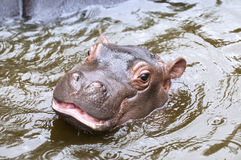 behandla som ett barn flodhästen Arkivfoton