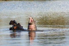 Behandla som ett barn flodhästen på mammor tillbaka Fotografering för Bildbyråer