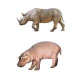 Behandla som ett barn flodhästen, stor afrikansk noshörning som isoleras på a Arkivbilder