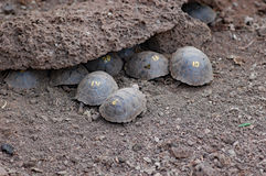 Behandla som ett barn galapagos jätte- sköldpaddor på forskningscentret Arkivfoton