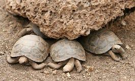 behandla som ett barn galapagos sköldpaddor Royaltyfria Bilder