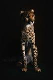 Behandla som ett barn geparden Arkivbild