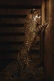 Behandla som ett barn geparden Royaltyfri Fotografi