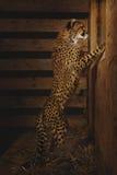 Behandla som ett barn geparden Royaltyfria Bilder