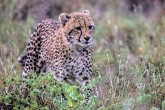 Behandla som ett barn geparden i den Kruger nationalparken Arkivbilder