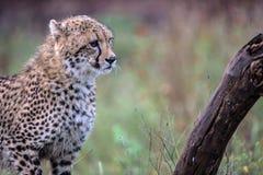 Behandla som ett barn geparden i den Kruger nationalparken Arkivfoton