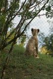 Behandla som ett barn gepardgröngölingen royaltyfri fotografi