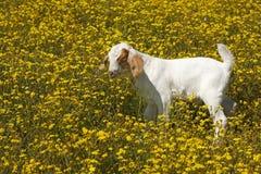 Behandla som ett barn geten i fältet av gula blommor Arkivbild