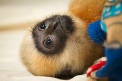 behandla som ett barn gibbonen Fotografering för Bildbyråer