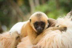 behandla som ett barn gibbonen Arkivbild