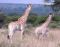 behandla som ett barn giraff Royaltyfria Bilder