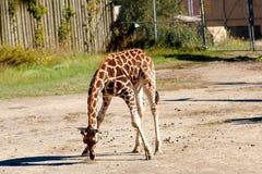 behandla som ett barn giraffe2 Arkivbilder