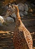 behandla som ett barn giraffet Royaltyfri Bild