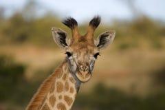 behandla som ett barn giraffet Arkivbild