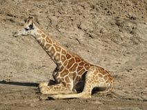 behandla som ett barn giraffet Royaltyfri Fotografi