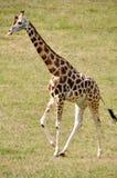 Behandla som ett barn giraffet Royaltyfria Bilder