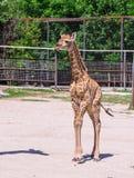 Behandla som ett barn giraffet Fotografering för Bildbyråer