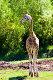 behandla som ett barn giraffet Arkivfoton