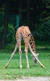 behandla som ett barn giraffet Royaltyfri Foto