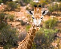 Behandla som ett barn giraffet i Cape Town parkerar arkivbild