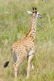 Behandla som ett barn giraffet i den tanzaniska savannahen Royaltyfria Bilder