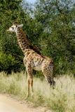 Behandla som ett barn giraffet i det l?st arkivbilder
