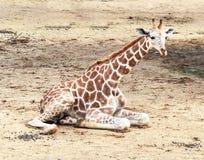 Behandla som ett barn giraffet i zoo Arkivbild
