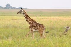 Behandla som ett barn giraffet nära modern Arkivfoton