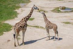 Behandla som ett barn giraffet och modern Arkivfoton