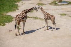 Behandla som ett barn giraffet och modern Arkivfoto