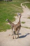 Behandla som ett barn giraffet och modern Royaltyfri Fotografi