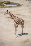 Behandla som ett barn giraffet och modern Fotografering för Bildbyråer