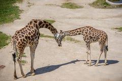 Behandla som ett barn giraffet och modern Royaltyfria Foton